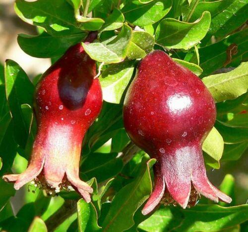 Semi di frutta esotica i i è un ottimo BONSAI ALBERO ornamentali. ornamentali-Granat mela