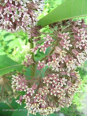 MILKWEED COMMON * Asclepias syriaca * MONARCH HOST * BUTTERFLY GARDENS * SEEDS