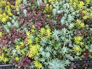 Assortment-of-Cold-Hardy-Stonecrop-Sedum-40-Cuttings-Hardy-up-to-20-F