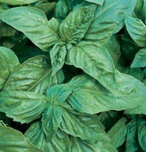 Basil-Italian-Large-Leaf-200-Seeds-BOGO-50-off-SALE