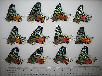 10 Papilio BLUMEI unmounted butterflies ARTWORK A1 perfect quality beautiful!