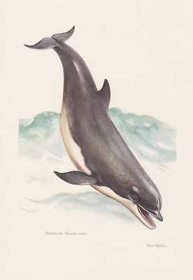 Delfin Tümmler Tursiops Truncatus Farbdruck Von 1959 Wale Cetacea Zoologie GroßE Auswahl;
