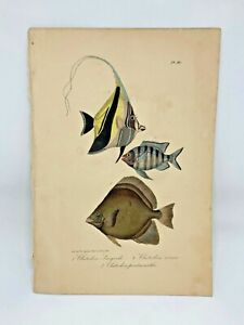 Fish-Plate-96-Lacepede-1832-Hand-Colored-Natural-History