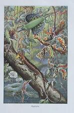 1915 FLUGDRACHE alter Druck antique print Litho Brehms Tierleben