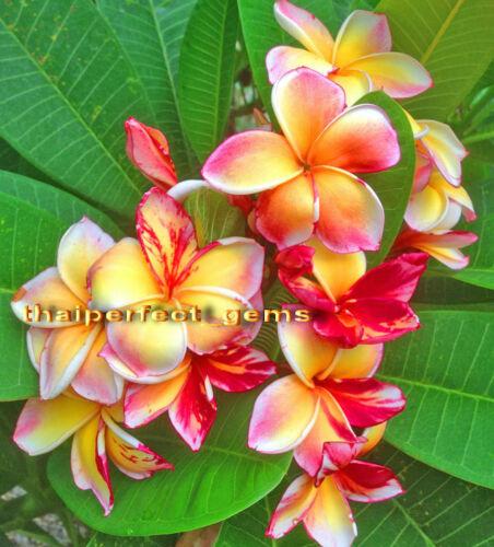 "Plumeria//Plants//Flowers///""New Variety/""Fresh 50 Seeds"