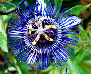 Maracuja-Blaue-Passionsblume-Passiflora-caerulea-winterhart-gelbe-Fruechte