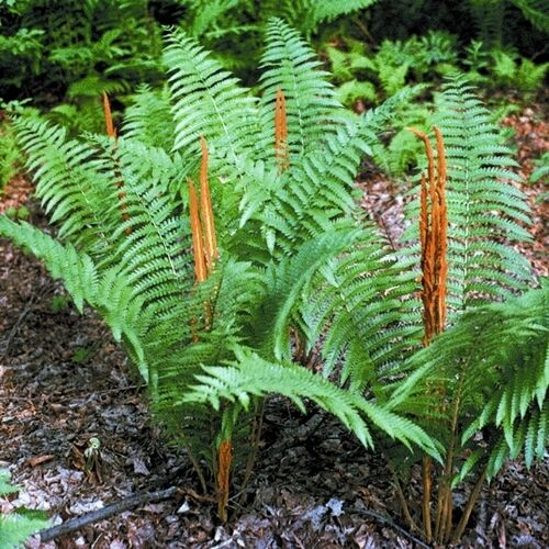 CINNAMON FERN 20 rhizome//root- osmundastrum cinnamomeum