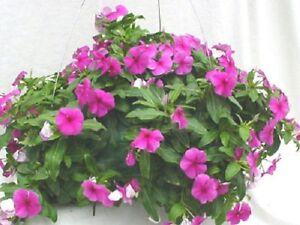 25-Vinca-Seeds-Cascade-Beauty-Purple-Hanging-Basket-Vinca