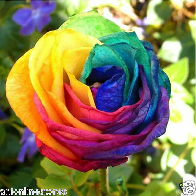 15 Pcs Splendid Rare Rainbow Rose Flower Seeds Colorful Plant Garden