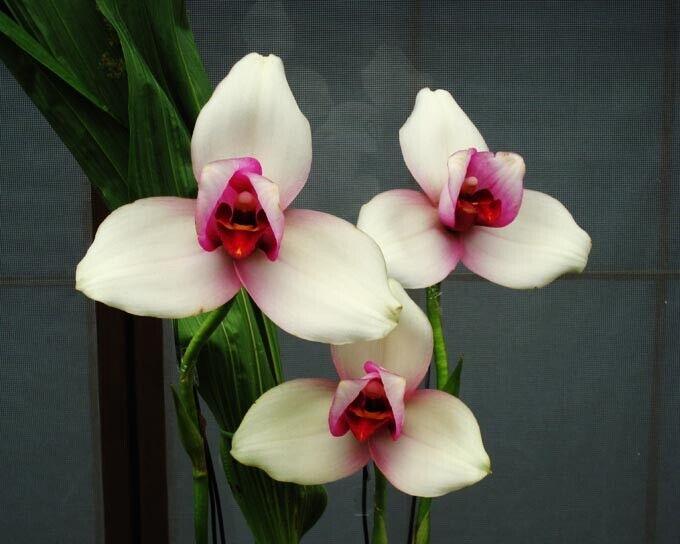 Planta de orquídea grandes Lycaste rakuhoku