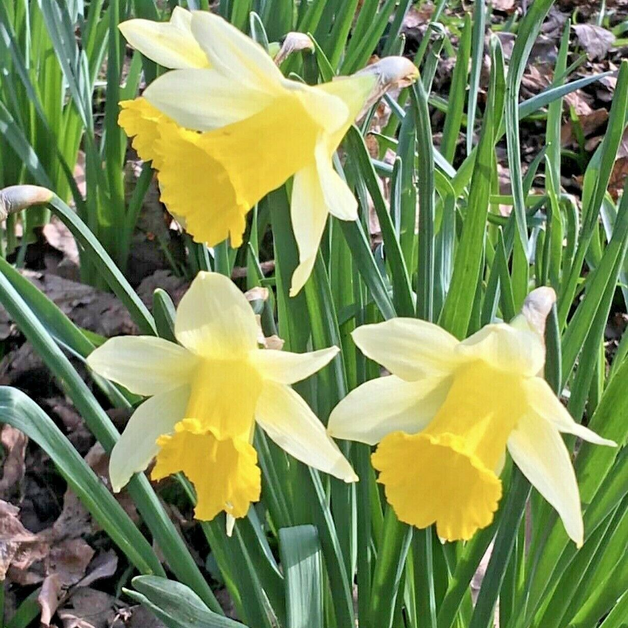 WILD DAFFODILS BULBS | Lobularis Lent Lily | Top Quality Narcissus