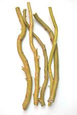 Salix Matsudana Tortuosa in 7cm pot Corkscrew willow