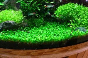 Aquarium-Plants-Seeds-Grass-Water-Aquatic-Plant-Seed-Ornamental-Plant-Grass-Home
