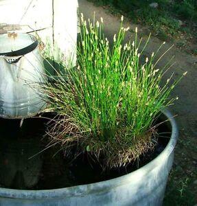 Mini spike rush pond bog plant 1 live seedling plant for Winter pond plants