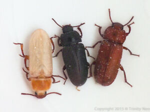 Live-Mealworm-Beetles-COLONY-STARTER-PACK