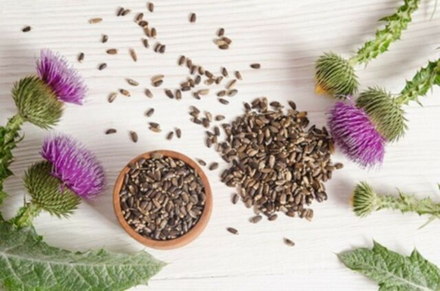 Milk Thistle Non GMO Heirloom Therapeutic Garden Herb Seeds Sow No GMO® USA