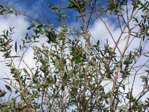 Eucalyptus parvula (parvifolia) 20 Samen, winterharter Eukalyptus