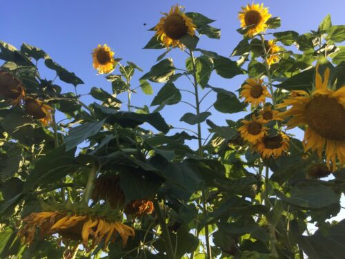 out of our garden so could be a variety Details about  /Mammoth Sunflower Seeds 100 Quantity