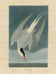 PAINTING-BOOK-PAGE-BIRDS-AMERICA-AUDUBON-ARCTIC-TERN-POSTER-ART-PRINT-BB12453B