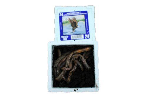 5 Dosen a 24 Kanadische Tauwürmer 120 Stück