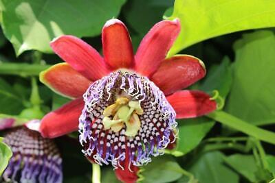 Passiflora tricuspis 5 seeds