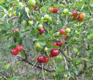 gesund-und-lecker-ACEROLA-KIRSCHE-auch-als-Bonsai-eigenes-tolles-Obst