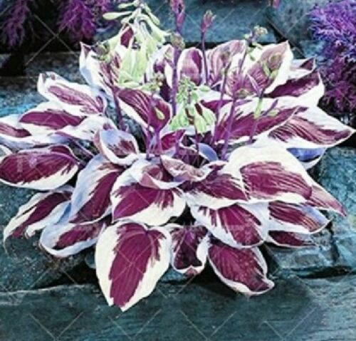 RK 100 Pcs Seeds Colorful Hosta Indoor Bonsai Flower Coleus Genus Plants