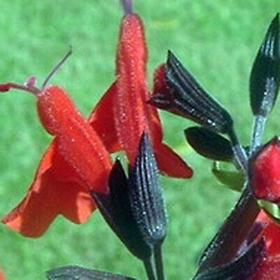 Salvia FOREST FIRE – Vivid Red w/Black Calyxes – Hummingbird Garden – 25+ Seeds