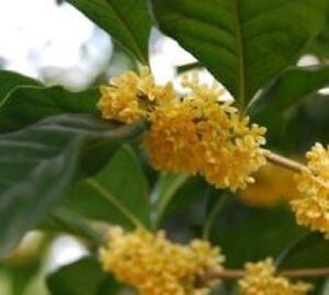 Yellow-Flowering-Fragrant-Tea-Olive-osmanthus-Live-Plant-Trade-Gallon-Pot