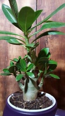 Caudex Bonsai,USA free ship Desert Rose,one year bare Rooted baby plant