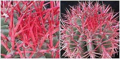 succulents seeds C 50 seeds of Ferocactus townsendianus,cacti