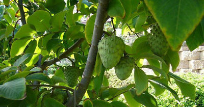"""Cherimoya Tropical Fruit Tree Seedling 6""""Tall in a 4"""" Pot"""