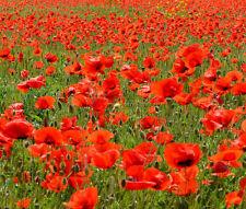 RED CORN POPPY AMERICAN LEGION Papaver Rhoeas - 60,000 Bulk Seeds