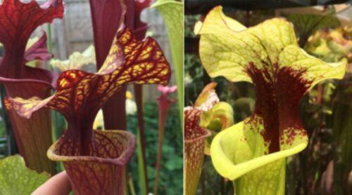 2019//GH//08 Sarracenia Carnivorous Plant Fresh Seeds UK Rare Cross