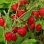"""Strawberry Seeds /""""Ruyan/"""" Russian Berry Seeds Fruit Bonsai Plants Garden 100Pcs"""