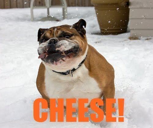 Bulldog  Funny Refrigerator magnet
