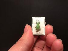 Entomologie / Insecte / Superbe Hypomeces squamosus A1 d'Indonesie!! Pailleté!