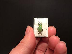 Entomologie-Insecte-Superbe-Hypomeces-squamosus-A1-d-039-Indonesie-Paillete