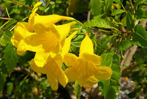 Yellow trumpet bush tecoma stans 25 seeds ornamental flowering image is loading yellow trumpet bush tecoma stans 25 seeds ornamental mightylinksfo