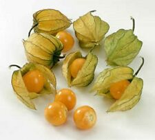 Heirloom CAPE GOOSEBERRY❋500 SEEDS❋Physalis peruviana❋Ground Cherry❋Poha❋Pie❋Jam