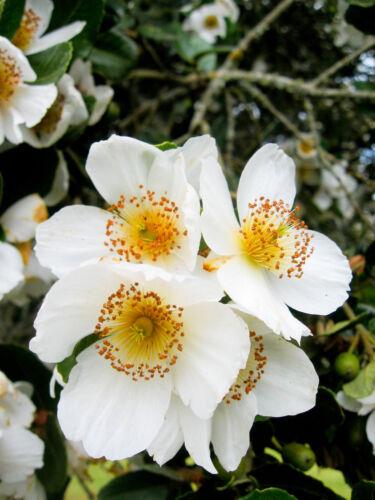 tree 50 seeds honey Eucryphia cordifolia Ulmo Evergreen /& very meliferous