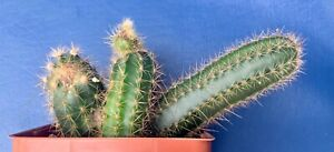PENIOCEREUS-OAXACENSIS-IN-A-4-034-POT-SEED-GROWN-CACTUS-PLANT-1342
