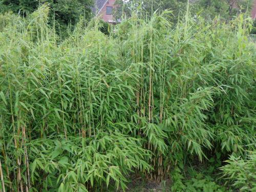 Bambus  Fargesia  Jumbo  Höhe ca 140-150cm.Super Sichtschutz, 5 Stück Top