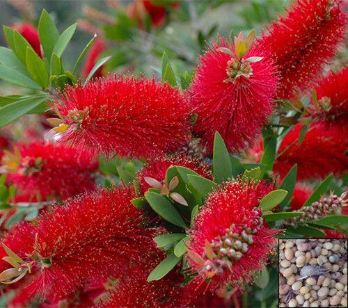Crimson BOTTLEBRUSH Tree 300 graines-Callistemon citrinus #636