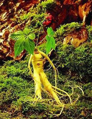 100+ Hardy Chinese / korea panax ginseng seeds Rare