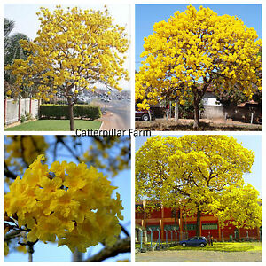 Tabebuia caraiba yellow trumpet tree flower 10 seedstrees seeds tabebuia caraiba yellow trumpet tree flower 10 seedstrees seedsyelow trumpet mightylinksfo