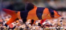 "(3) 2"" Clown Loach Wild Chromobotia macracanthus Live Freshwater Tropical Fish"