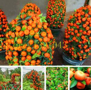 Details About Fruit Seeds Orange Tree Dwarf Washington Navel Grow Indoors Or Outdoors 30pcs S