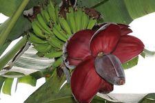 Banana seeds:Musa Balbisiana var. balbisiana 25 x.  (banaan zaden)