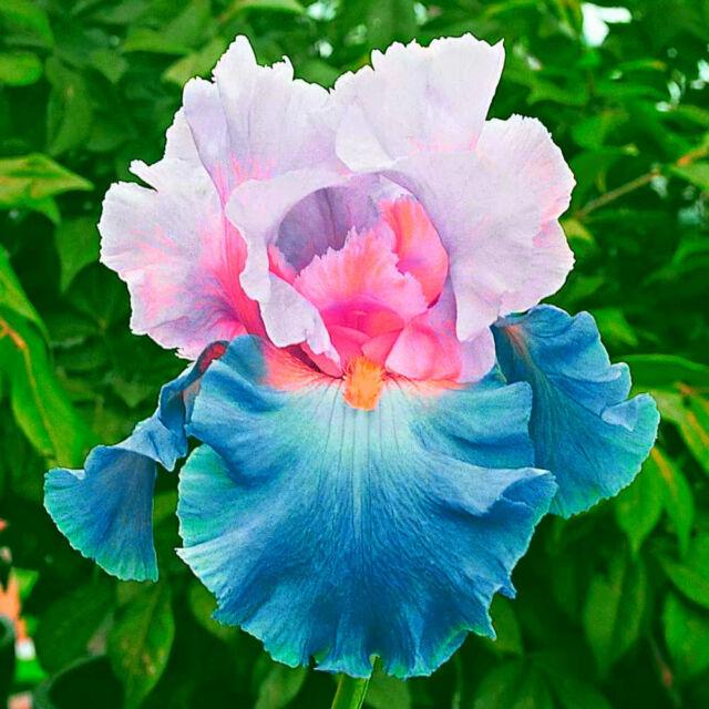 2 Iris Bulbs Tall Bearded Perennial Resistant Bonsai Rhizomes